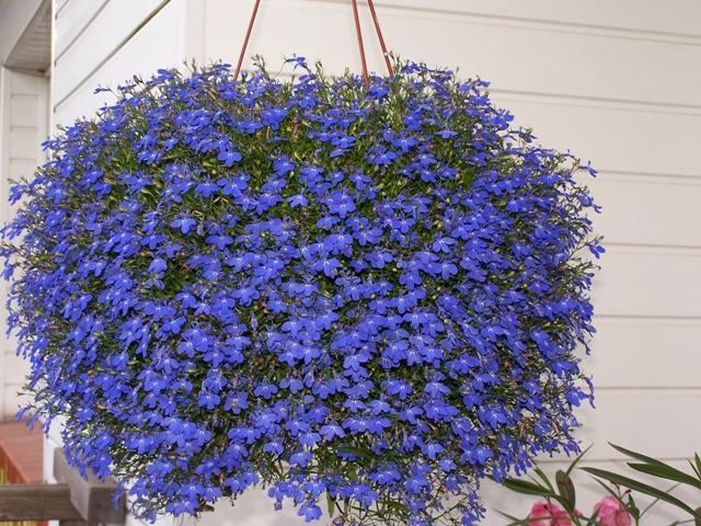 Best Hanging Flowers For Baskets : Most beautiful flowers to grow in hanging basket