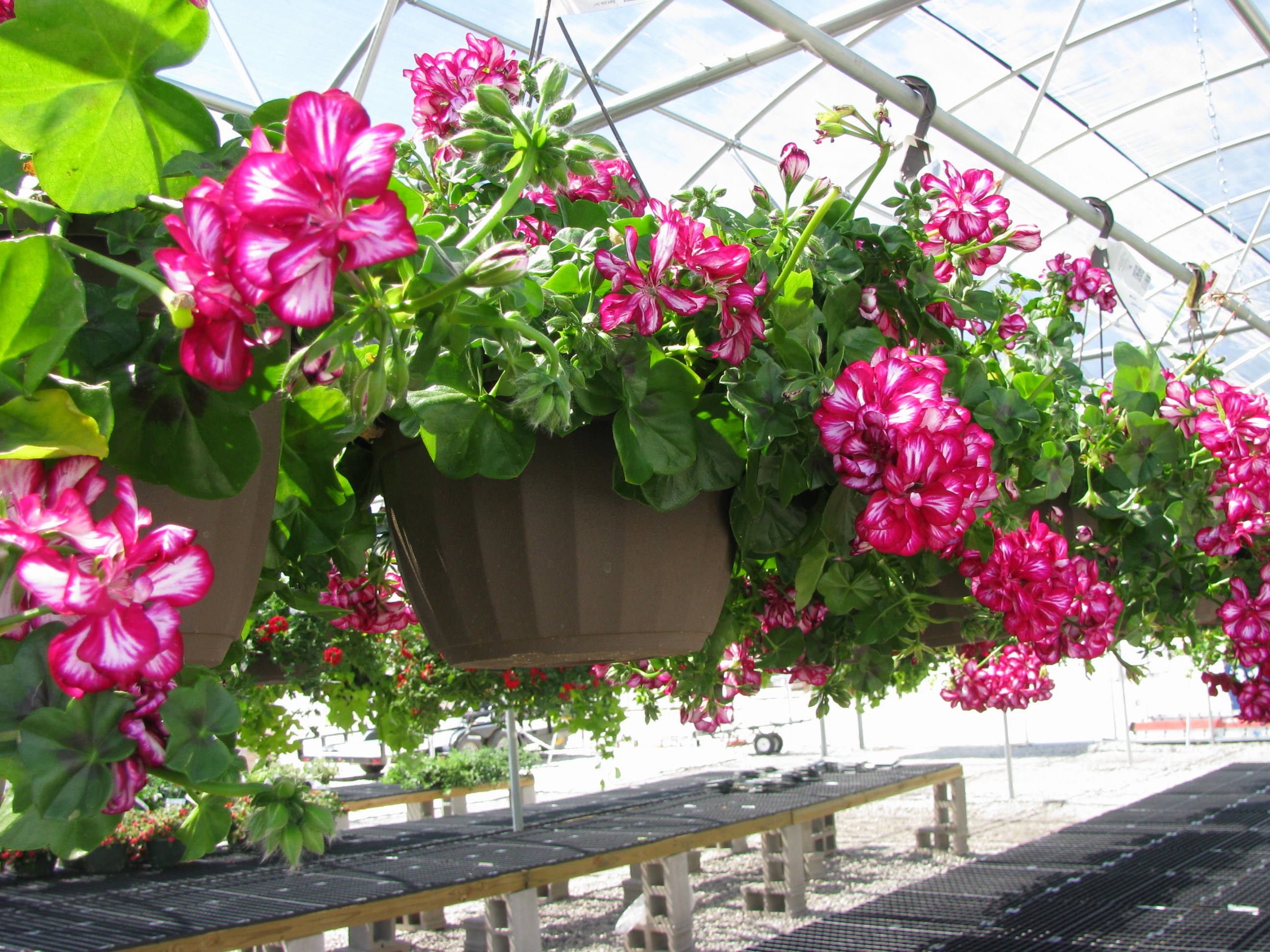 Growing Hanging Flower Baskets : Most beautiful flowers to grow in hanging basket
