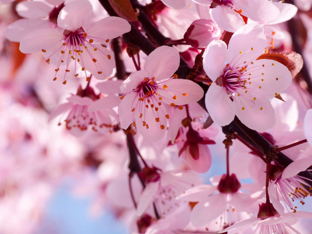 Cherry blossom meaning enkivillage for Flor definition