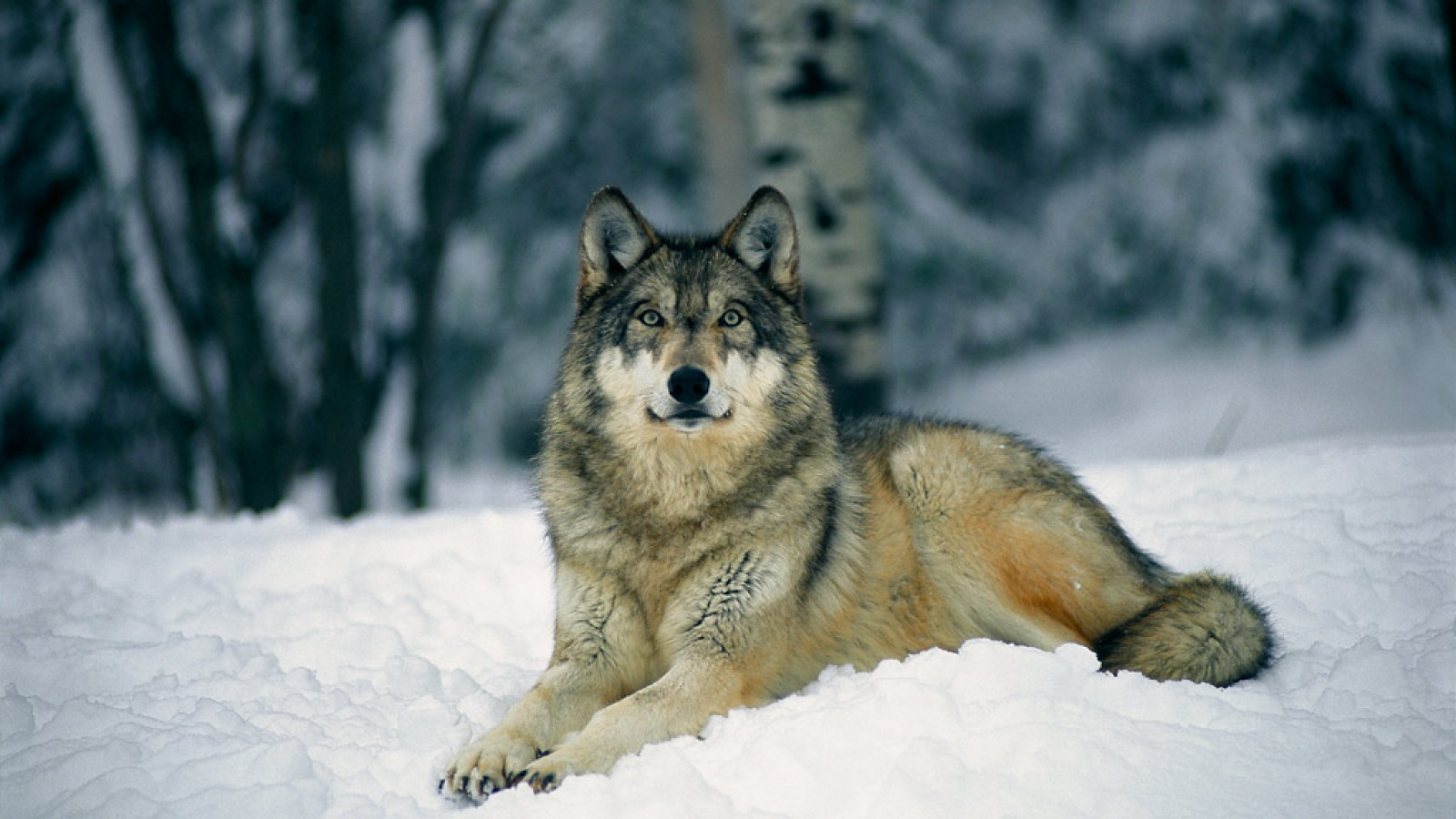 biggest wolf in the world - photo #8