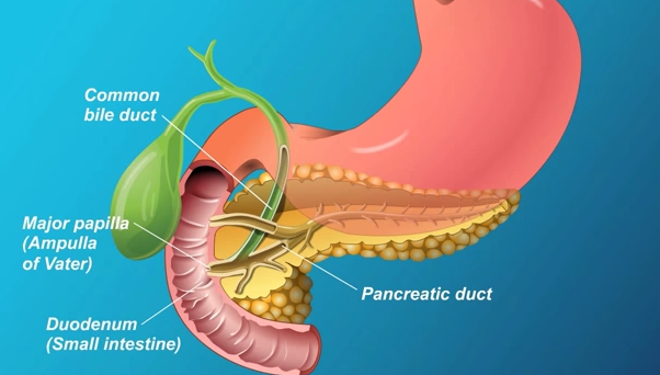 pancreas location ribs - photo #32