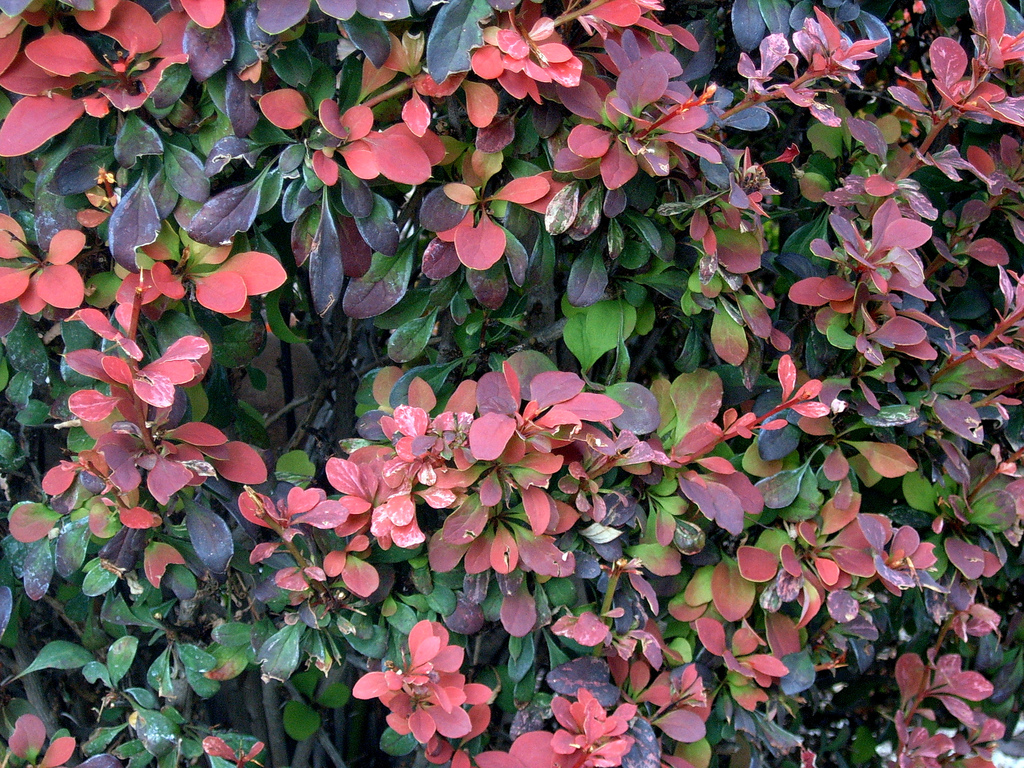 Flowering and nonflowering shrubs for shade enkivillage for Low maintenance bushes for shade